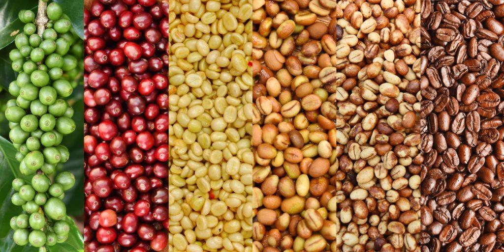 Coffee Bean Life Cycle
