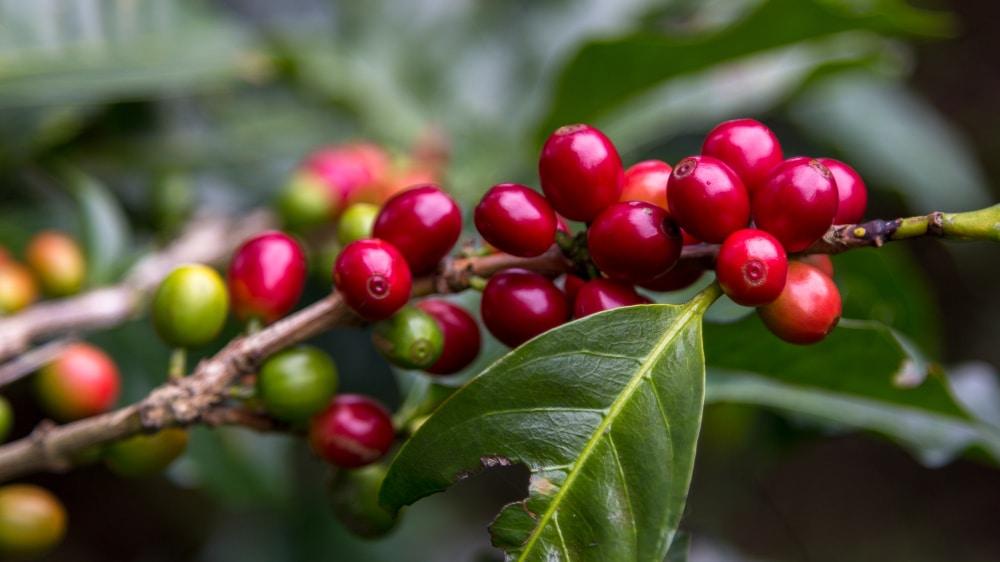 Coffee Cherry Plant
