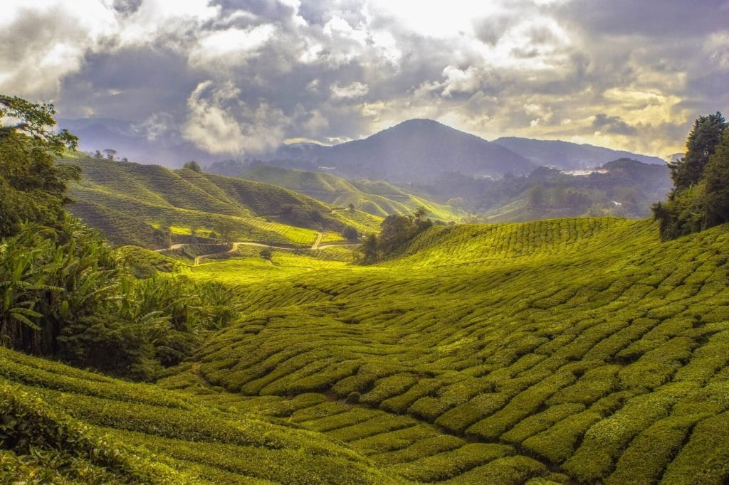 The Different Types of Tea - field