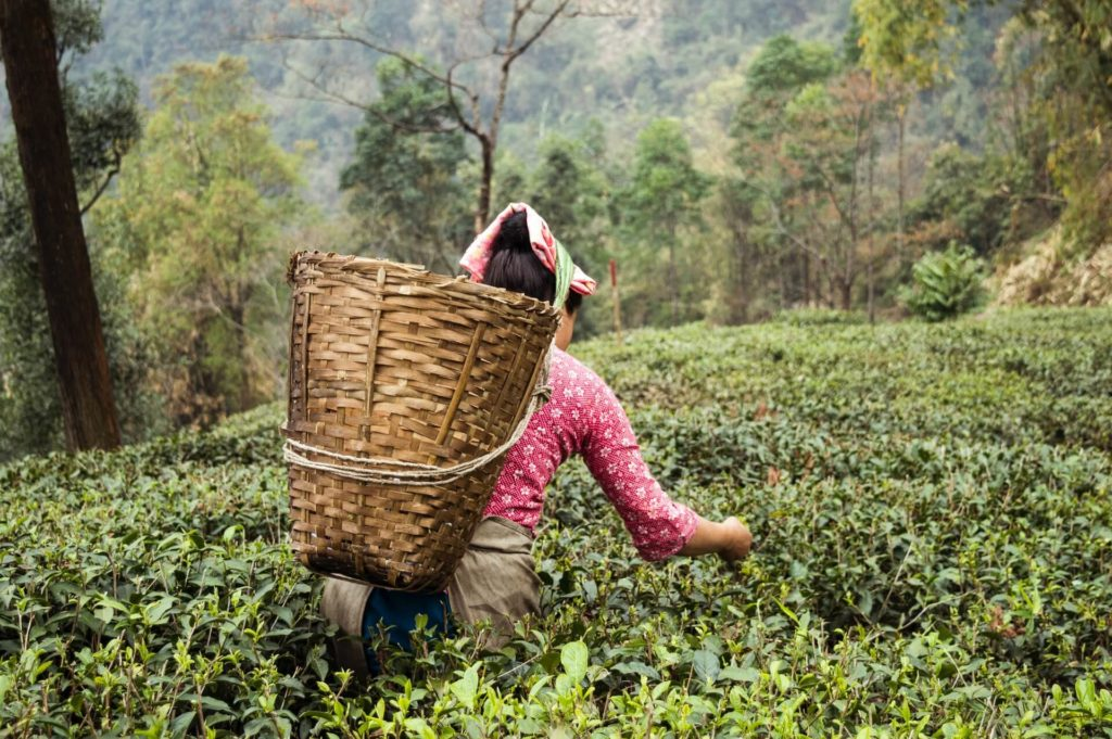 Darjeeling Black Tea - End